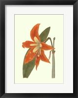 Lily Varieties II Framed Print