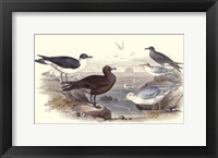 Framed Gulls & Terns
