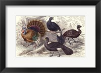 Framed Turkey & Curassows