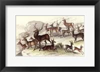 Framed Deer Varieties