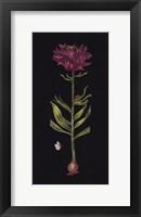 Framed Lillium