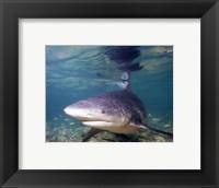 Framed Bull shark