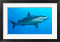Framed Carribbean Reef Shark