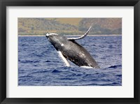 Framed Humpback Whale Leaping
