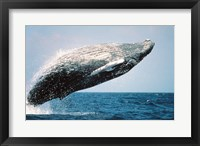 Framed Humpback Whale Breaching