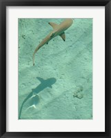 Framed Maldives Blacktip Reef Shark, Carcharhinus Melanopterus