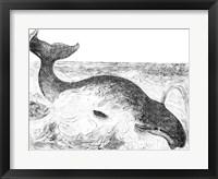 Framed Whalebone Whale