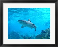 Framed Shark Underwater