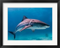 Framed Tiger Shark