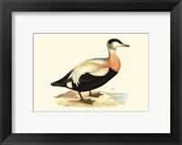 Framed Eider Duck