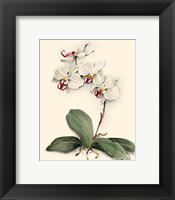 Framed Phalaenopsis Red Throat Orchid