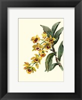 Framed Dendrobium Orchid