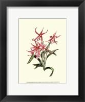 Framed Miltassia Hybrid Orchid