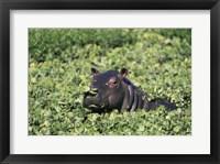 Framed Hippopotamus in Grass