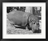 Framed Hippopotamus Black and White