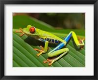 Framed Red Eyed Tree Frog