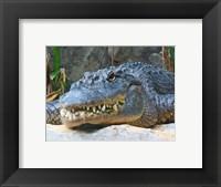 Framed Alligator Mississippiensis