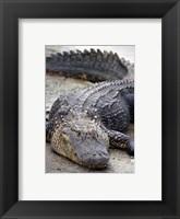 Framed Florida Alligator