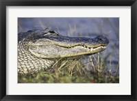 Framed Alligator - photo