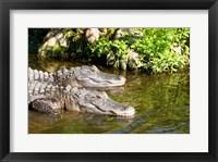 Framed American alligators in a pond, Florida, USA