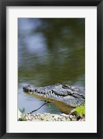 Framed Close-up of an American Crocodile In Water