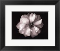 Wild Rose- mini Framed Print