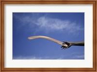 Framed Throwing Non- Return, Fighting Boomerang, Australia
