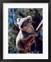 Framed Koala on a tree branch, Australia (Phascolarctos cinereus)