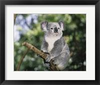 Framed Koala on a tree branch, Lone Pine Sanctuary, Brisbane, Australia (Phascolarctos cinereus)