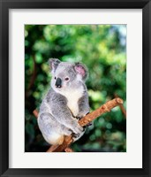 Framed Koala on a tree branch, Lone Pine Sanctuary, Brisbane, Australia (Phascolarctos cinereus)
