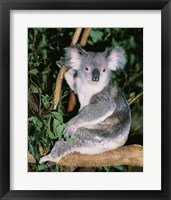 Framed Koala sitting on a tree branch, Lone Pine Sanctuary, Brisbane, Australia (Phascolarctos cinereus)