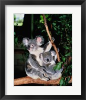 Framed Koala and its young sitting in a tree, Lone Pine Sanctuary, Brisbane, Australia (Phascolarctos cinereus)