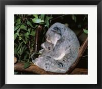 Framed Koala hugging its young, Lone Pine Sanctuary, Brisbane, Australia (Phascolarctos cinereus)