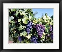 Framed Close-up of cabernet grapes, Nuriootpa, Barossa Valley, Adelaide, South Australia, Australia
