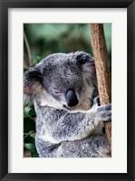 Framed Koala Bear Australia