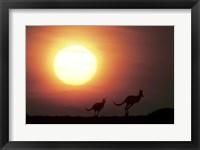 Framed Kangaroos Australia