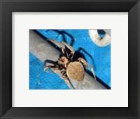 Framed Spider, Garden Orb Weaver
