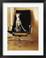 Framed Italian Greyhound sitting on a chair