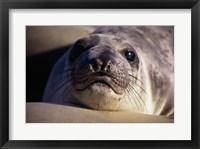 Framed Seal - photo