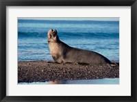 Framed Male Northern Elephant Seal