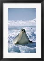 Framed Harp Seal on Ice