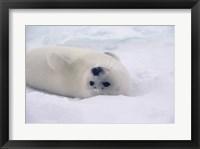 Framed White Harp Seal