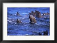 Framed Steller Sea Lions