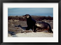 Framed Galapagos Sea Lion Galapagos Islands Ecuador