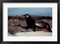 Framed Galapagos Sea Lion Galapagos Islands Ecuador