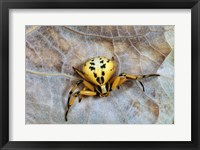 Framed Crab Spider