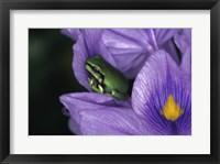 Framed White's Tree Frog