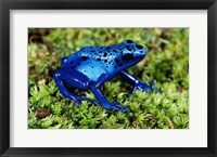 Framed Close-up of a Blue Poison Dart Frog in the grass