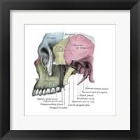 Framed Skull Diagram