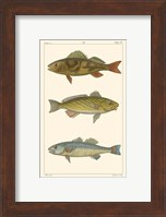 Framed Freshwater Fish I